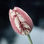 Stronger than Steel! Amazing New Super Plastic Made from Tulip Leaves